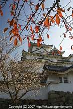 10月桜と姫路城
