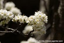 巴旦杏の花 by α700