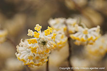 ミツマタの花 by α700