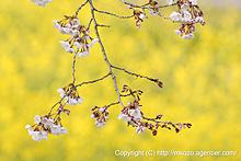 巾着田の桜20080402