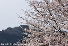 さくら越しに日和田山を望む by α700
