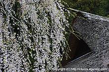 高麗家の茅葺と枝垂桜 by α700