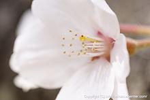 さくらの花粉