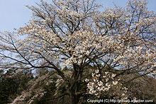 国道沿いの桜(2008)