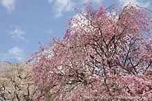 青雲寺の枝垂桜