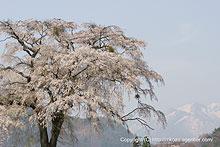上発知の枝垂桜2 (2008)