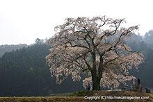 上発知の枝垂桜1 (2008)