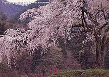 上発知の枝垂桜(2007年)