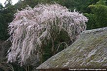 見頃!高麗神社の枝垂桜(2010年)