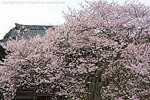 聖天院の桜(2010年)