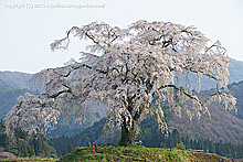 上発知の枝垂桜(2010年)