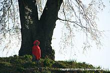上発知の枝垂桜(2011年)