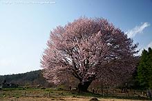 花咲の天王桜へ(2011)