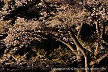 斜光に華やぐ山桜