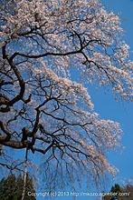 春の奥久慈へ〜外大野しだれ桜(2013)