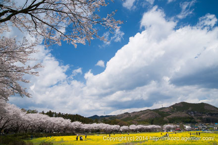 春うらら〜巾着田の春(2014)