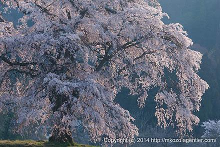 春の斜光に照らされて〜上発知のシダレザクラ(2014)